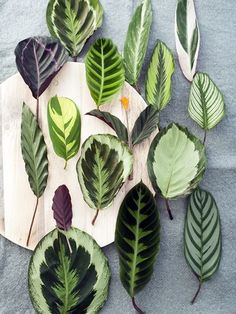 Cat-Friendly Plants Ideas: Prayer Plant also known as Calathea and Maranta have distinctive patterns on their leaves. It can grow large and gives your room a nice accent. Prayer Plant Prayer plant native to tropical South and Central America, Africa, and the West Indies. Which leaves grow primarily for their beautiful, brightly colored, upright, oval …