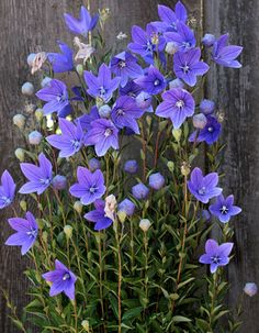 PLatycodon grandiflorus aka Chinese Bellflower, Balloon Flower. Destroyed by rabbits.