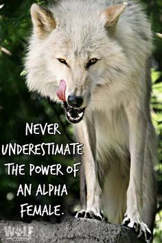 """""""Alpha male"""" connotes the man who at every moment demonstrates that he's in total control in the home, and who away from home can become snarling and aggressive. Ecologist and author Carl Safina learns from wolves that this stereotype is not only wrong, but also that...  """"It's the alpha female who really runs the show.""""  More - http://nyti.ms/1BQp2Co"""
