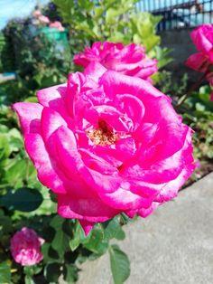 Pink rose in my garden