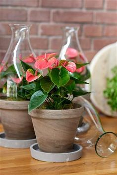 Flamingo Flower - Info, Care and More - Quiet Corner Flamingo Plant, Flamingo Flower, Flower Planters, Planter Pots, Lily Care, Holiday Break, Foliage Plants, Tropical Plants, Plant Care