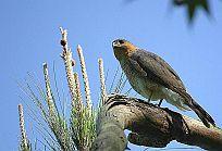 Amerikaanse Sperwer - Accipiter striatus