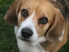 Missy - my seven year old Beagle - such a sweetheart!