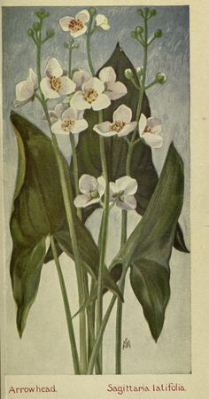 Field book of American wild flowers; - Biodiversity Heritage Library