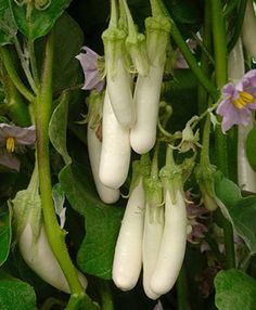 Eggplant Gretel - 2009 AAS Vegetable Award Winner Petite fruit, petite plant, perfect for containers. Eggplant Plant, White Eggplant, Eggplant Seeds, Growing Eggplant, Planting Vegetables, All Vegetables, Growing Vegetables, Fruits And Veggies, Vegetable Gardening