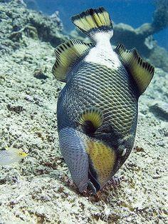 T: Bali Titan Triggerfish Underwater Creatures, Underwater Life, Colorful Fish, Tropical Fish, Fauna Marina, Beautiful Sea Creatures, Life Under The Sea, Salt Water Fish, Marine Fish