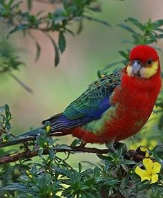 Western Rosella (Platycercus icterotis Psittacidae)-- Recorded only in the south-western corner of Australia, the Western Rosella is seen in small flocks during winter, but at other times of the year it usually occurs in pairs or family groups.