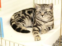 breeder of British shorthair black silver tabby and spotted kittens cats British Shorthair, Cats And Kittens, Black Silver, Animals, Animales, Animaux, Animal, Animais, Serval Cats