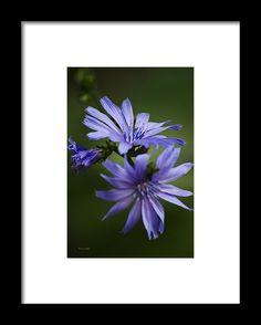 Chicory Flowers Framed Print by Christina Rollo.  All framed prints are professionally printed, framed, assembled, and shipped within 3 - 4 business days and delivered ready-to-hang on your wall. Choose from multiple print sizes and hundreds of frame and mat options.