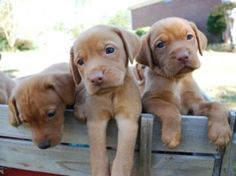 Labralas if labs and Vizslas aren't hypoallergenic then why is the mix?