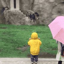 funny gifs, gifs of the week, zoo lion attacks glass