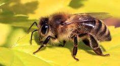 Φυσική καλλιέργεια - Βότανα και Υγεία: Έρευνα: Η Μέλισσα μετά την αρθρίτιδα και σκλήρυνση...