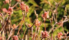 Viburnum farreri 'Nanum' is currently budding at the edge of the Westview Terrace on the walk toward the Kitchen garden.