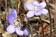 Honigbiene an Leberblümchen - Foto: Helge May