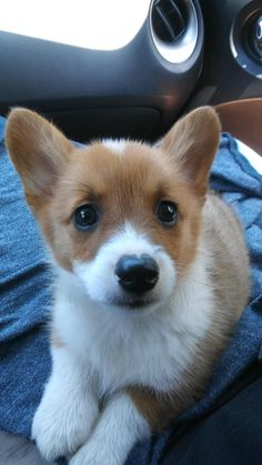 The Queens corgis — Arya came home yesterday! We are proud parents of...