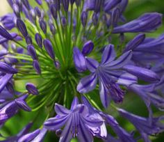 The Agapanthus, also known as the Lily of the Nile or the African Lily, is native to South Africa.  Agapanthus grow on incredibly tall slender green stems, known as 'scapes', with no foliage. The strap-like leaves of the Agapanthus plant form a thick scrubby base. The head of the Agapanthus, called the 'cymes' or 'umbel', is an explosion of hundreds of miniature funnel shaped flowers and flower buds, which can be in either purple, blue or white.