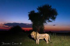 Photograph Okavango Lion by Brendon Cremer on 500px