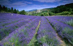 ôte d'Azur, France (field of lavender in Provence)