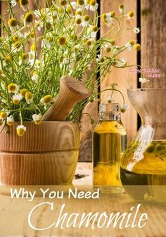 A great plant with many natural medicinal uses, chamomile is easy to grow and should be in your home apothecary! Learn why here. The Homesteading Hippy #homesteadinghippy #fromthefarm #naturalmedicine #essentialoils #chamomile #plants
