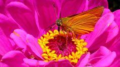 Skipper butterfly on pink zinnia