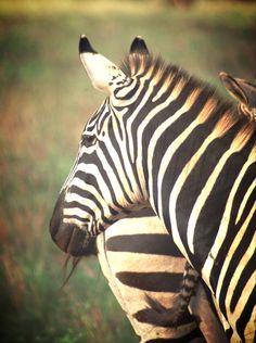 Kenya Photography, Kenya, Safari, Zebra, Stripes, Wall Art, Animal Print, Animal Photography, Animal Art, Zebra Print, Zebra Decor by PhotosbyAnnaMarie on Etsy https://www.etsy.com/listing/223527027/kenya-photography-kenya-safari-zebra