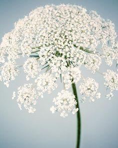 "Fine Art Flower Photography Print ""Queen Anne's Lace No. 11"""