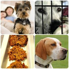 What questions do you want answered on the BBS Blog? In case you missed any of the great topics this week, check out the Healthy Dog Blog Weekend Reader! Home Remedies, Helping Homeless Animals, Homemade Salmon Cakes, and the Pointer were all featured. Happy Weekend Reading! #dogs #dogblog #dogtreatrecipe #pointer #englishpointer