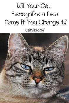 Nov 2019 - Are you wondering if cats recognize a new name if you decided to change it? Do cats even recognize their current name? Read on to find out! Cat Care Tips, Dog Care, Pet Tips, First Time Cat Owner, Kitten Care, Cat Signs, Cat Behavior, Cat Facts, New Names