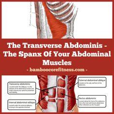 The Transverse Abdom