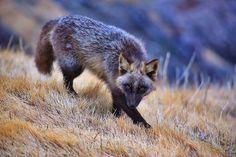 14877810-R3L8T8D-880-fox-species-photography-4-1.jpg (880×587)