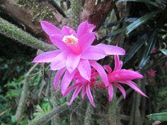 2015年 5月8日  昨日実家で開花に気付きました。 子供の頃からずっと有るのに名前は知らない・・・ 現在イヌマキの木に絡みついて生息している。