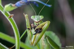Praying Mantis Eating a Bee!!TravelThroughPictures.com