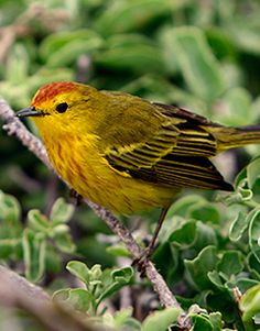 a subspecies of the American Yellow Warbler, known as a Mangrove Warbler, Setophaga petechia aureola