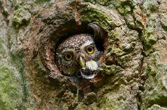 Eurasian Pygmy Owl (Glaucidium passerinum) at nest hollow. Photo by Assaf Gavra.