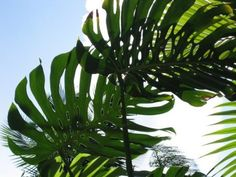 looking for shade Plant Leaves, Monstera Leaves, Paradise Garden, Tropical Leaves, Home Projects, Interior Stylist, Interior Design, Palms, Yard Ideas