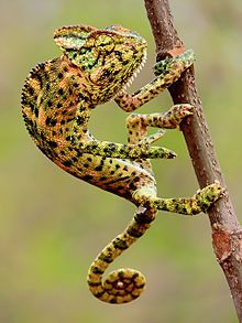 """Indian Chameleon (Chamaeleo zeylanicus) Photograph By Shantanu Kuveskar.jpg  """"Chameleons or chamaeleons (family Chamaeleonidae) are a distinctive and highly specialized clade of old world lizards with 202 species described as of June 2015.[1] These species come in a range of colours, and many species have the ability to change colours."""" #变色龙 #Ĥameleono #Chamäleon"""