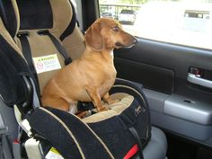 Wilma thinks the grandkids carseat is hers, she gets a better view.