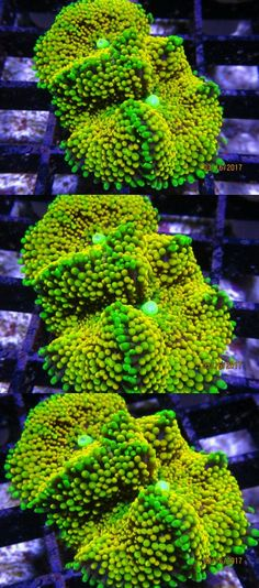 Coral and Live Rock 177797: Live Coral Multi Mouth Ricordia Mushroom, Ricordea Wysiwyg Coral Cartel -> BUY IT NOW ONLY: $30.0 on eBay!