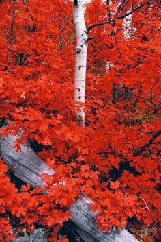 Rocky Mountain Maples