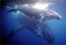 Baleias Jubarte em Abrolhos - Bahia
