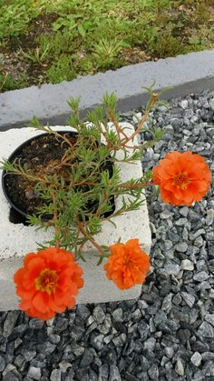 Exotic Flowers, Orange Flowers, Beautiful Flowers, Flower Plants, Planting Flowers, Portulaca Grandiflora, Good Morning Cards, Ice Plant, Drawing Quotes