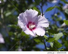 Flower of the rose of sharon (close-up) | ムクゲ (ハチス) の花、寄り