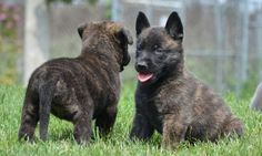 there is nothing cuter than Dutch Shepherd puppies