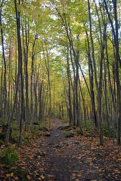 Long, yellow, trees of the forest. #hikingintheforest #fall #vermont