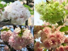 左上は市原虎の尾、右上は緑色の桜・御衣黄、左下が福禄寿、右下が増山です。 新宿御苑では、多くの八重桜を見ることができます。
