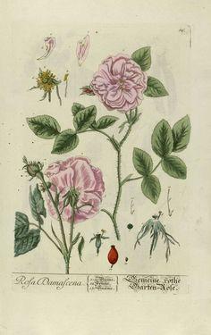 Rosa damascena oleum aethereum (růže damašská olej éterický)