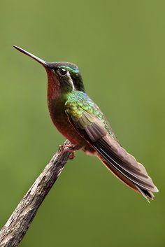 Серохвостый сверкающий колибри / Grey-tailed mountaingem / Lampornis cinereicauda #колибри