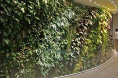 Vertical Garden with focus on Polypodium aureum Glaucum, in a private house, Beirut
