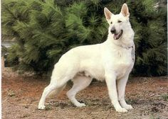 Want one!! Discover What A German Shepherd Dog Can Bring To Your Family