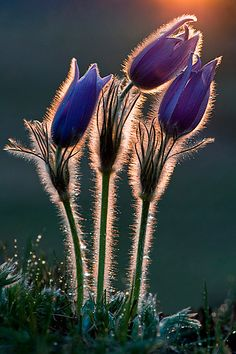 Pulsatilla Grandis by Hunter 2000 #purple #flowers